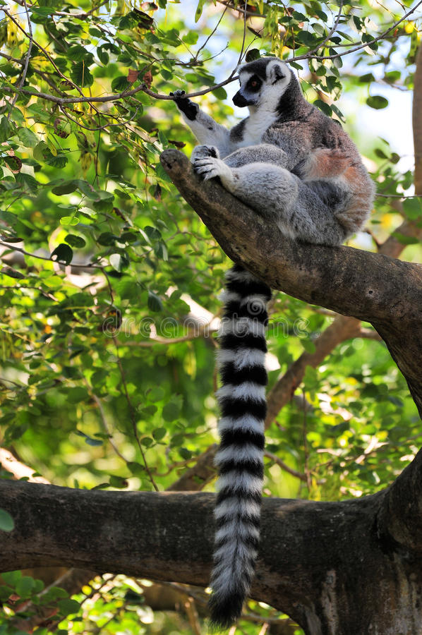 Lemur in tree royalty free stock images