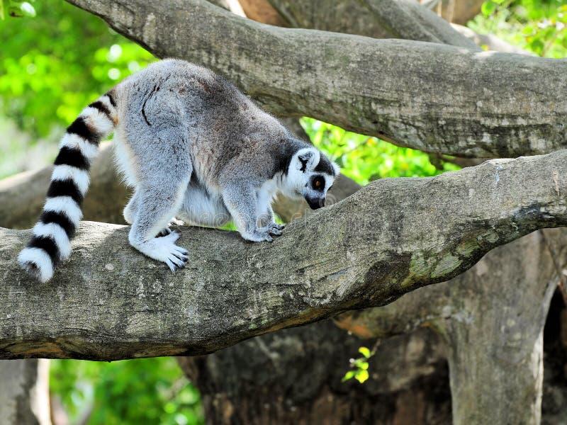 Lemur on a Tree Branch stock photography