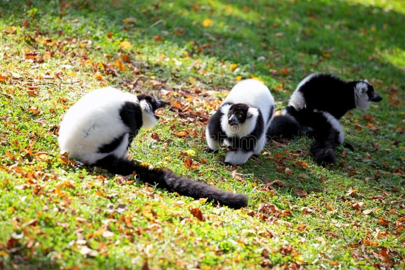 Lemur Vari Royalty Free Stock Images