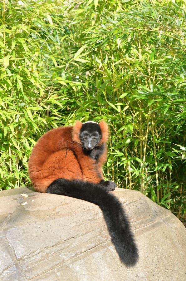 Lemur vermelho fotografia de stock royalty free