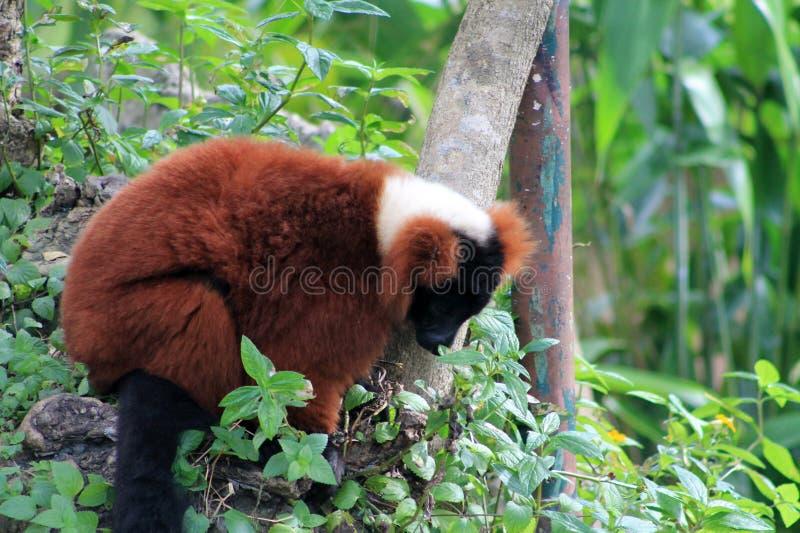 Lemur vermelho imagem de stock