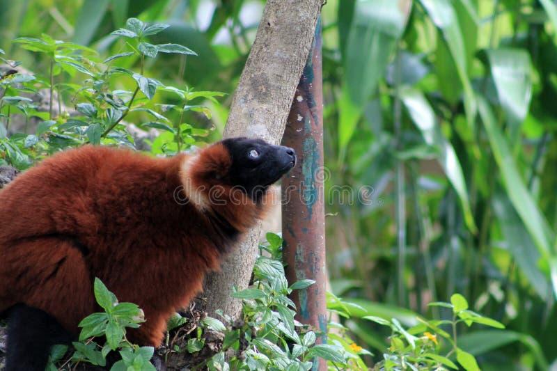 Lemur vermelho fotos de stock