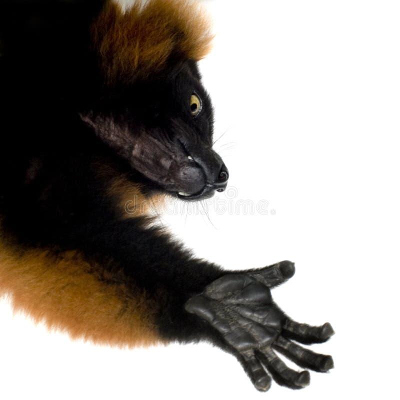 Lemur vermelho de Ruffed foto de stock royalty free