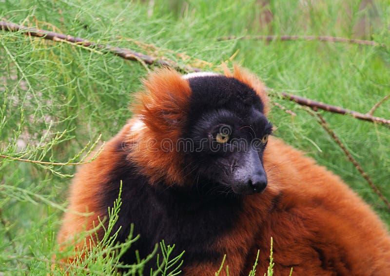Lemur vermelho de Ruffed, Varecia Rubra fotos de stock