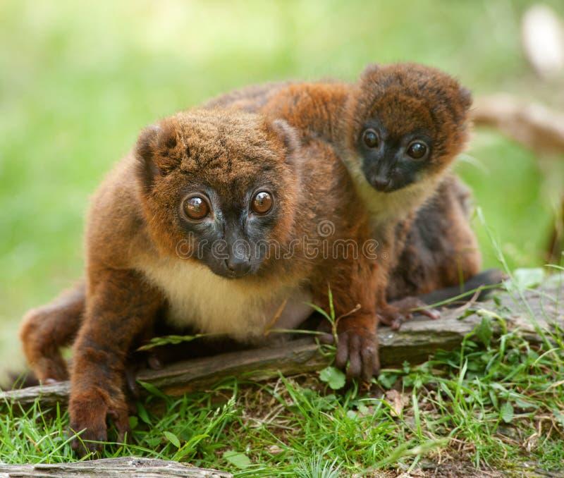 Lemur Vermelho-inchado bonito com bebê fotos de stock