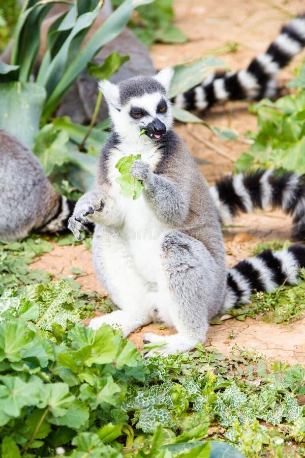 Lemur w paśniku, Ogoniasty lemur zdjęcia stock