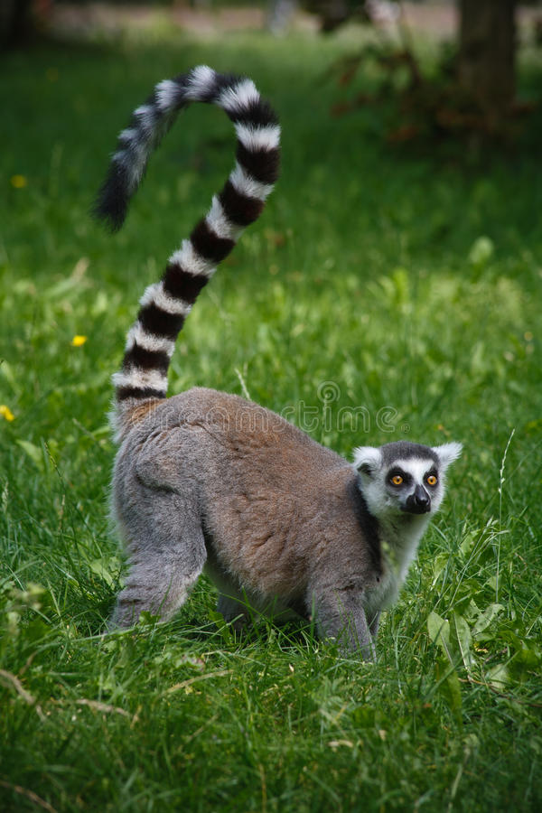 Lemur from a zoo in Germany. On the grass in summertime stock photography