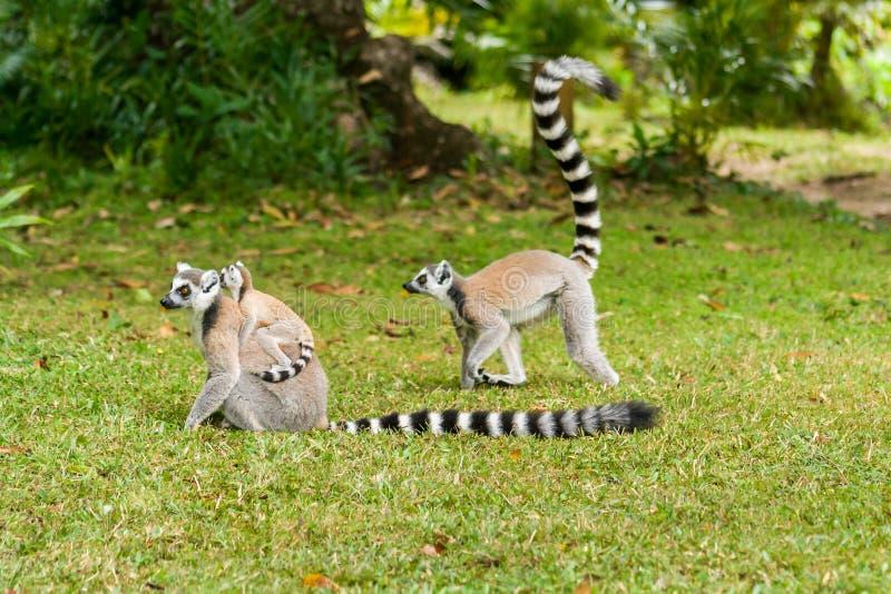 Lemura catta Madagascar obraz royalty free