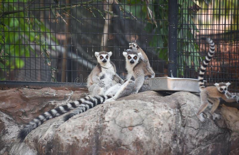 Lemura catta obsiadanie na drewnie w parku narodowym, Ogoniaści lemury zdjęcie stock