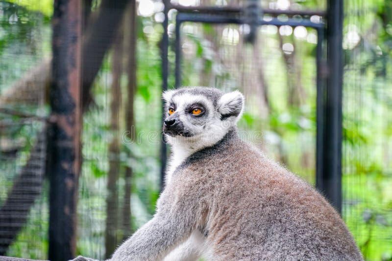 lemura catta - portret zwierzę w zoo obraz stock