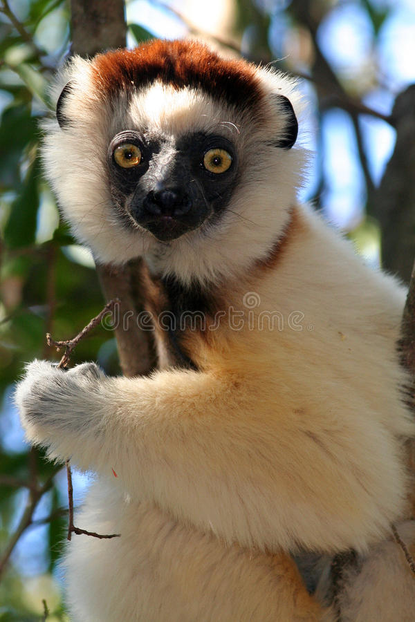 lemura Madagascar s sifaka verreaux dziki obrazy royalty free
