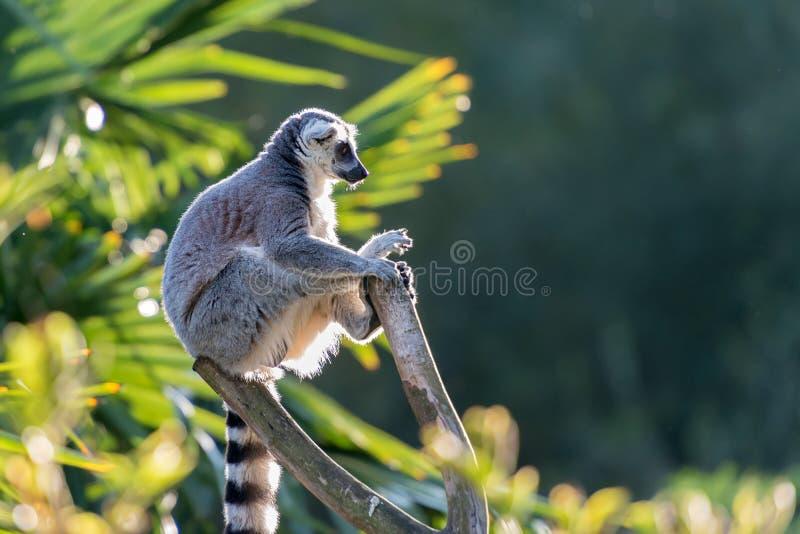 Lemura mak catta Madagascaer zdjęcie stock