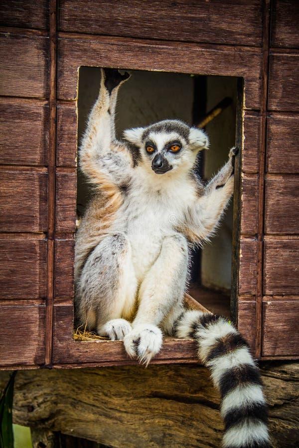 Free Lemurchik Soft And Fluffy Animal Stock Photo - 133201310