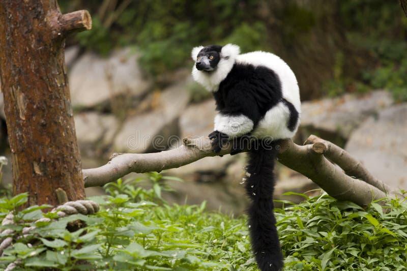lemure 免版税库存图片