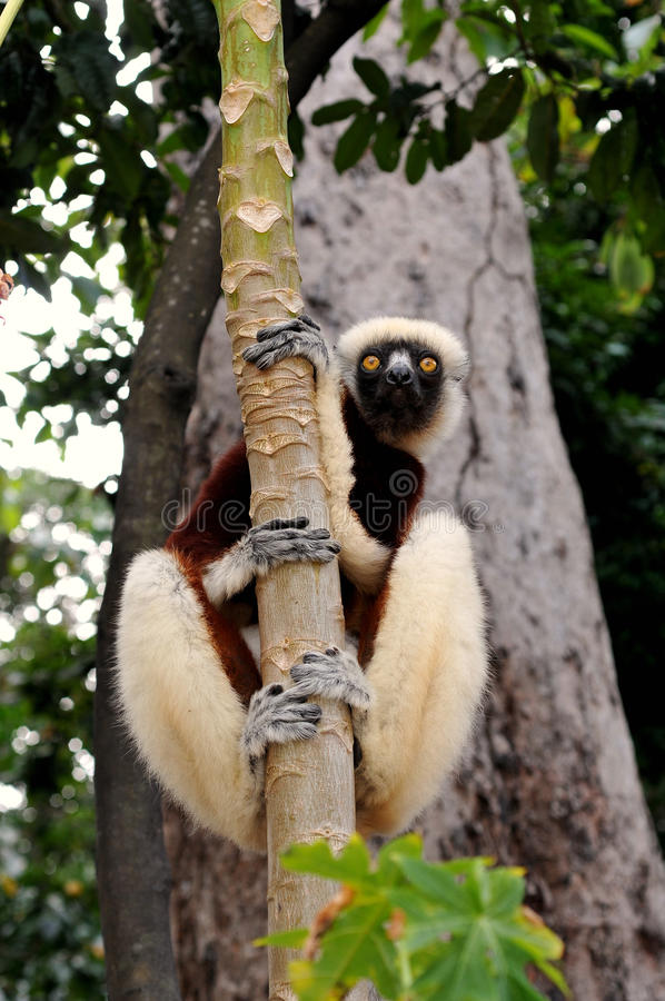Lemure 库存照片