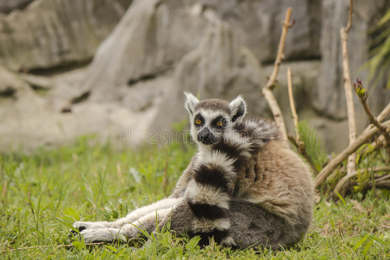 Lemure arkivbilder