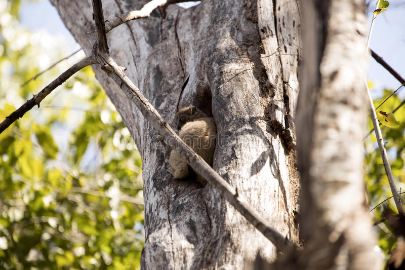 Lemure allegre di Ankaran di notte, ankaranensis di Lepilemur, uno della prenotazione endemica Ankarana, il Madagascar fotografia stock libera da diritti