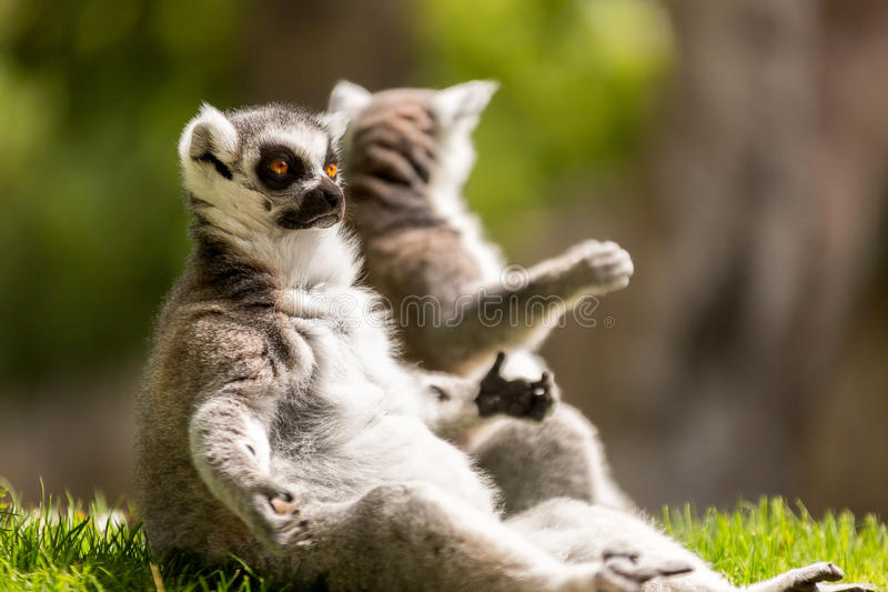 Lemure aspettanti fotografie stock libere da diritti