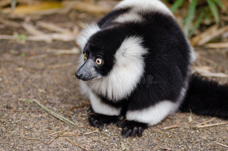 Lemure in bianco e nero sopra la superficie di Brown immagine stock libera da diritti