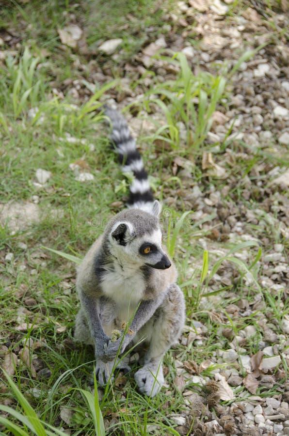 Lemure catta, catta delle lemure fotografia stock libera da diritti