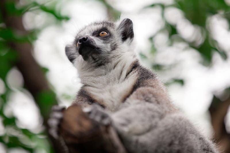 Lemure catta (catta delle lemure) fotografia stock libera da diritti