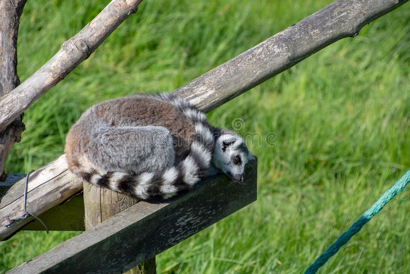 Lemure catta che dormono al sole immagine stock