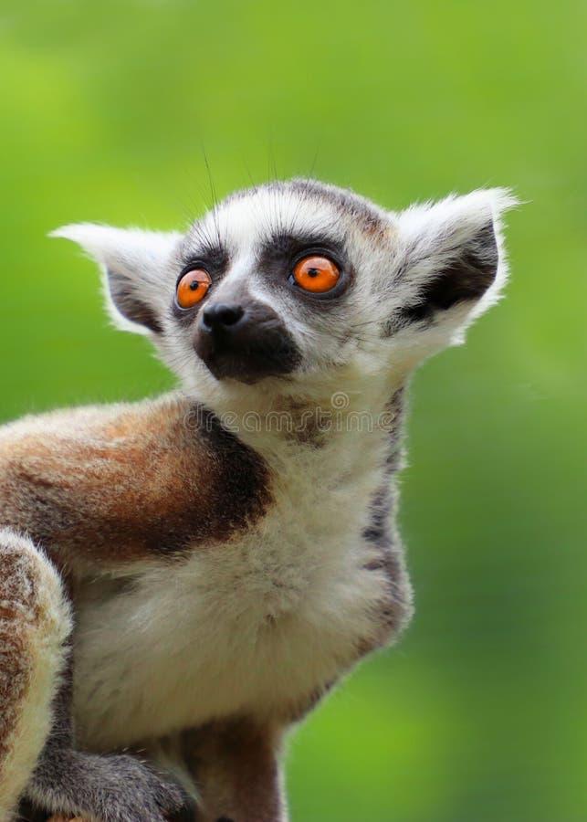 Lemure catta del bambino su fondo verde fotografia stock libera da diritti
