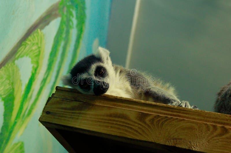 Lemure catta di sonno fotografia stock