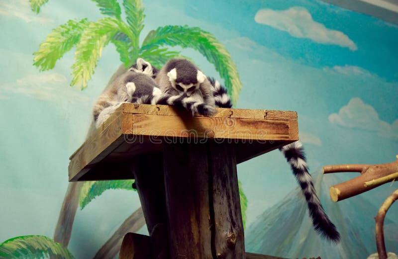 Lemure catta di sonno fotografie stock
