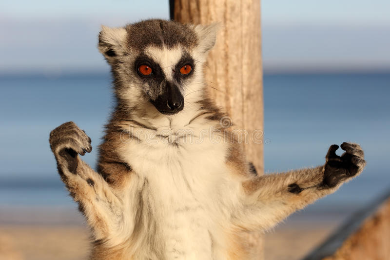 Lemure catta, Madagascar fotografia stock