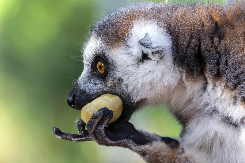 Lemure catta prigioniere attente mentre mangiando fotografie stock