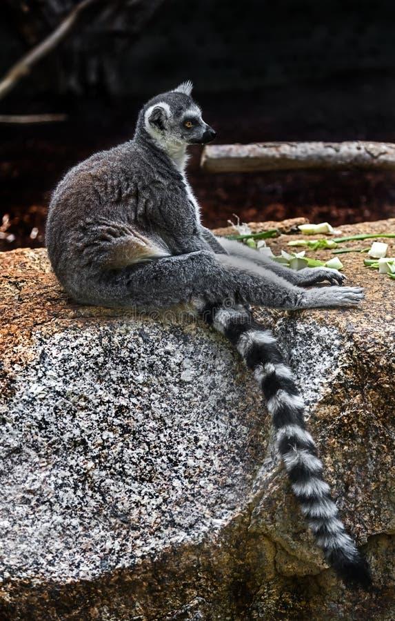 Lemure catta sulla pietra fotografia stock