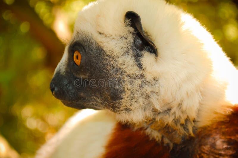 Lemure del primo piano madagascar immagini stock libere da diritti