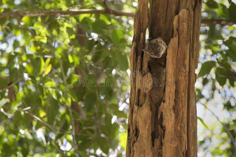 Lemure del topo che dormono su un albero nel Madagascar fotografie stock libere da diritti