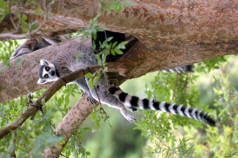 Lemure della coda dell'anello immagini stock