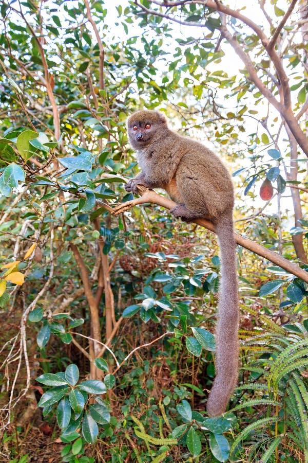 Lemure di bambù sveglie fotografie stock