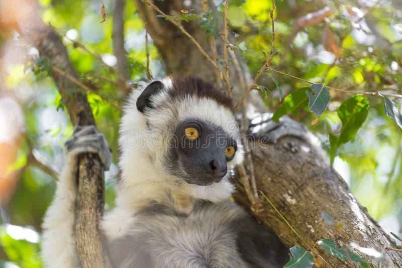 Lemure di Sifaka nella giungla del Madagascar, Africa fotografia stock libera da diritti