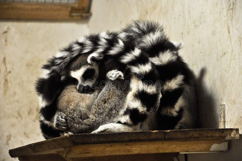 Lemure Di Sonno Dominio Pubblico Gratuito Cc0 Immagine
