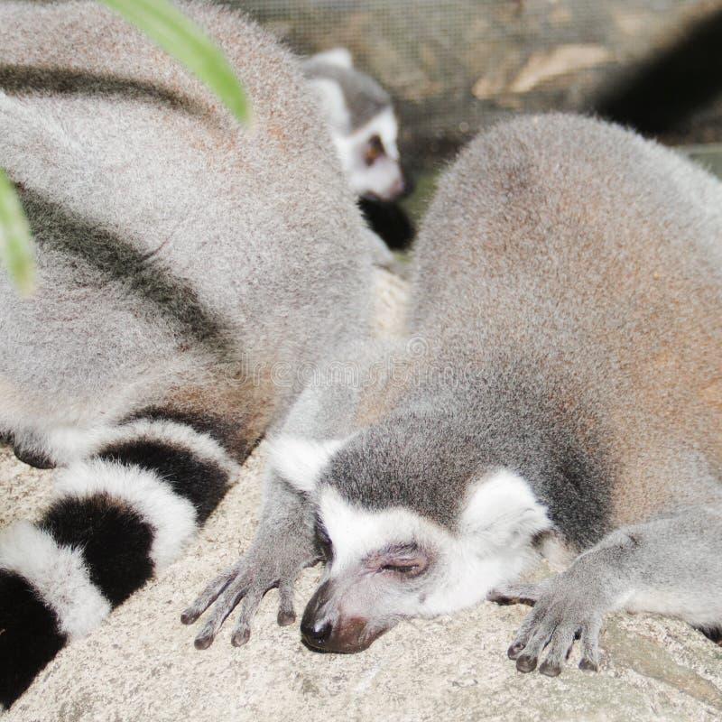 Lemure di sonno nella foresta fotografia stock