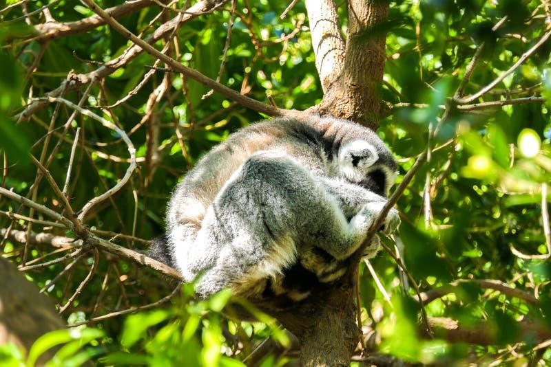 Lemure di sonno su un ramo nascosto un giorno soleggiato fotografia stock