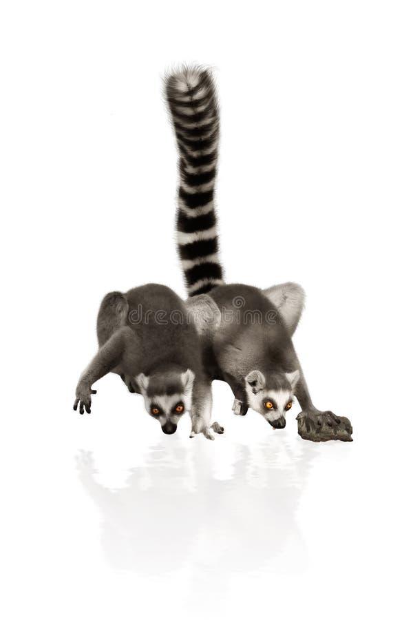 Lemure divertenti immagine stock