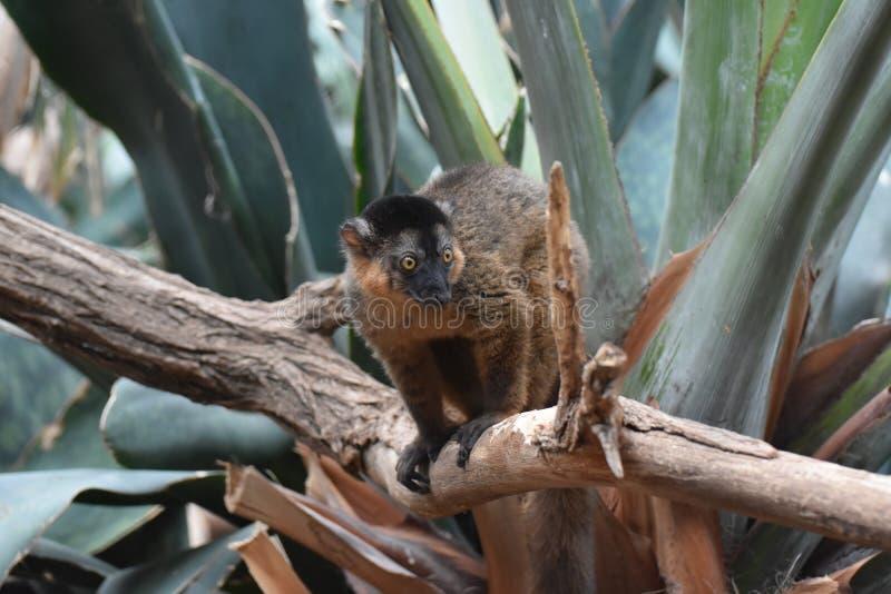 Lemure messe un colletto Brown adorabili pronte a piombare fotografia stock libera da diritti