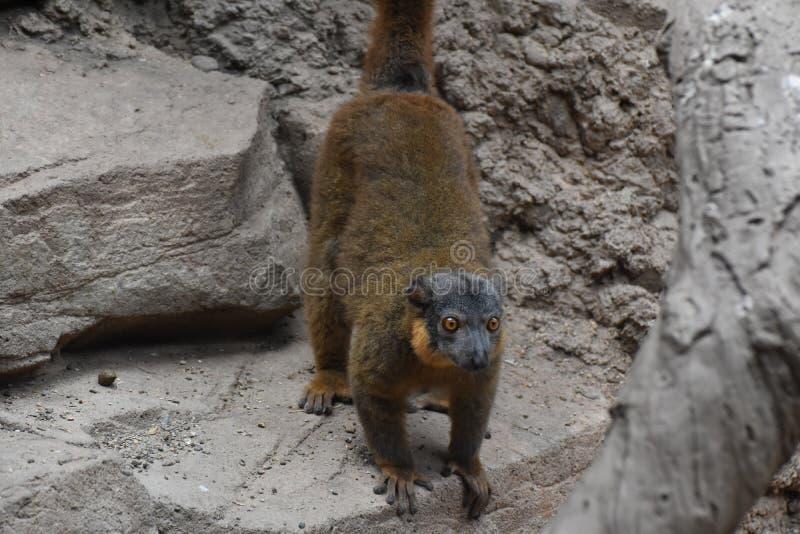 Lemure messe un colletto Brown adorabili su una roccia fotografie stock libere da diritti