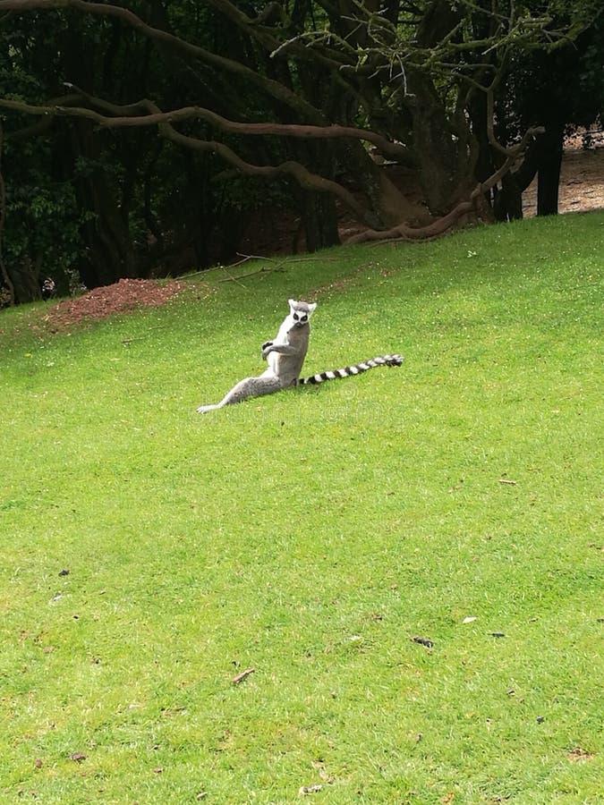 Lemure prendenti il sole fotografia stock