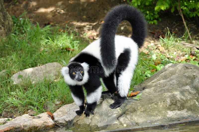 Lemure ruffed in bianco e nero fotografia stock libera da diritti