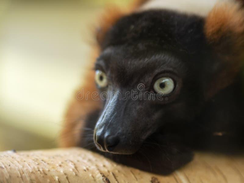 Lemure su un albero immagini stock libere da diritti