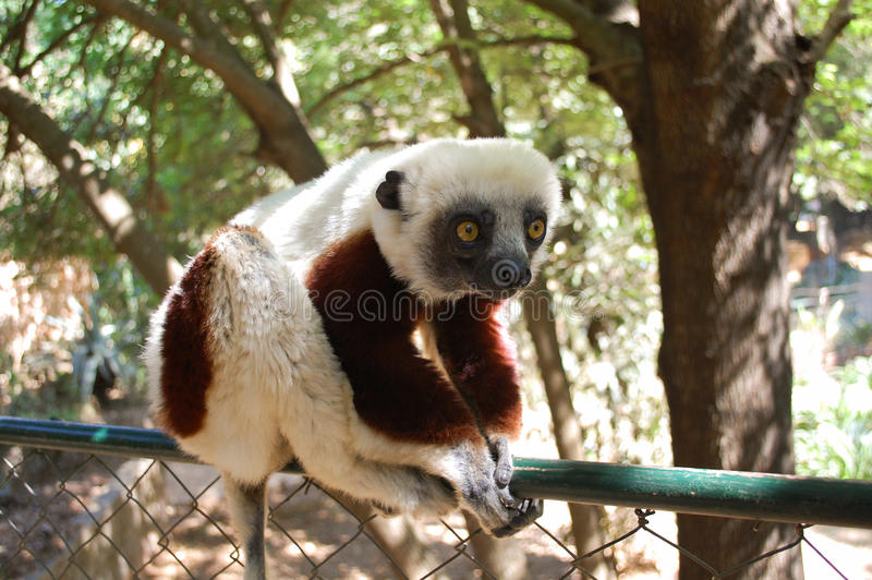 Lemure sveglie nel Madagascar fotografie stock libere da diritti