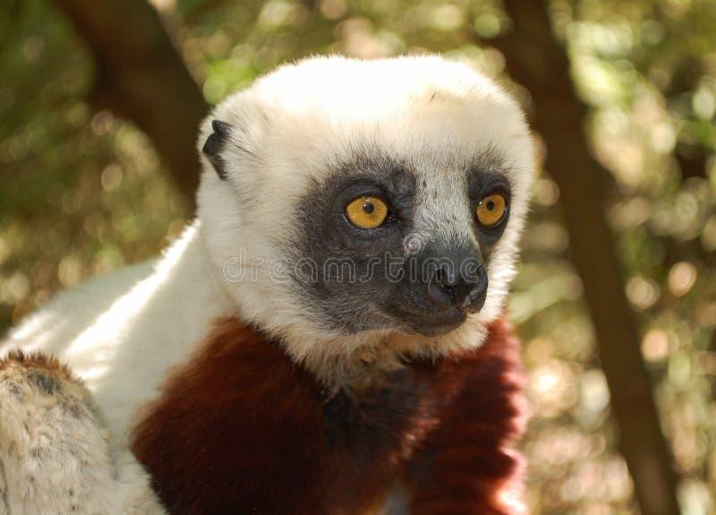 Lemure sveglie in parco nazionale immagini stock