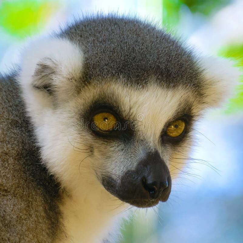 Download Lemure Vicine Su Nel Madagascar Immagine Stock - Immagine di grigio, divertente: 117976871