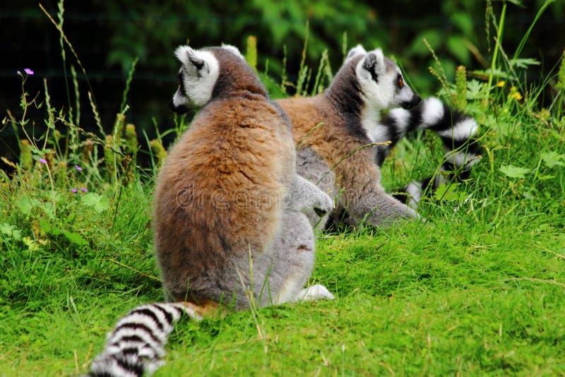 Lemures obsiadanie na gras w zoo w Augsburskim w Germany zdjęcia royalty free